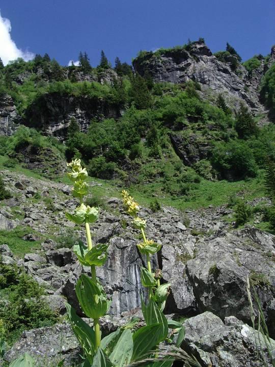 Grandes Gentianes jaunes, l'été à Passy, au Souay (cliché Bernard Théry)