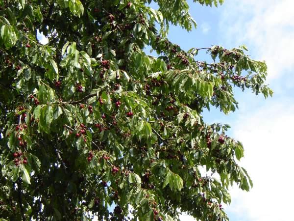 L'été à Passy, c'est aussi la joie des fruits… (Doc. Jean-Paul Fivel)