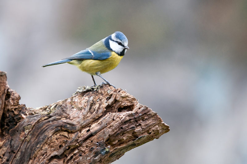 Mésange bleue (Parus caeruleus) photo : Jean-Jacques Carlier.