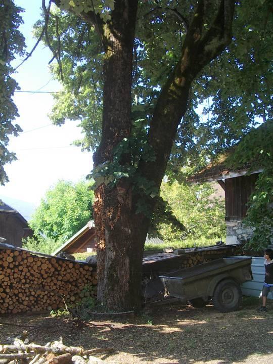 Le tilleul planté dans la cour de la chapelle-école de Maffrey ; il aurait été planté en 1860, lors du rattachement de la Savoie à la France (cliché Stéphane Théry)