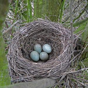 Nid et œufs de merle noir (Source : Internet)
