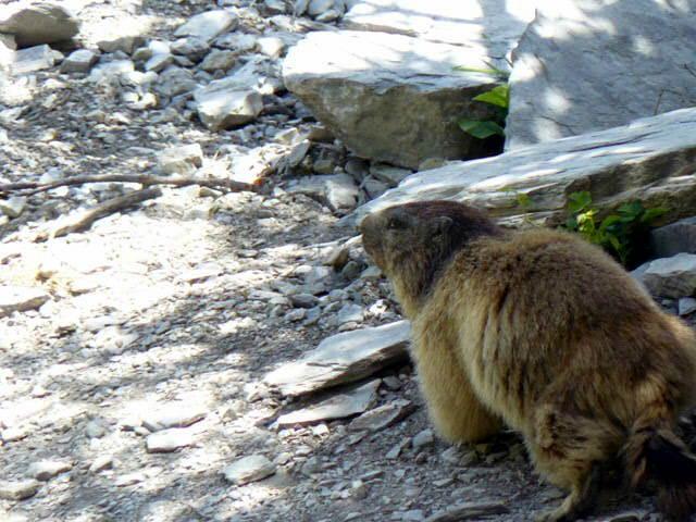 Marmotte sur le chemin de Platé, à Passy (cliché Stéphane Théry, juillet 2012)
