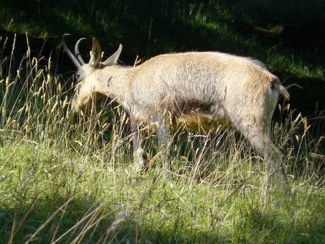 Chamois au parc du Merlet, Les Houches)