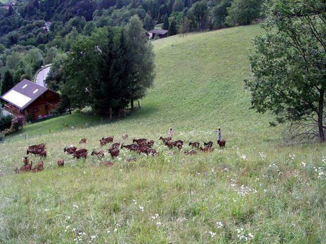Le retour à la chèvrerie des Trolles, la Motte (cliché Bernard Théry, juillet 2011)