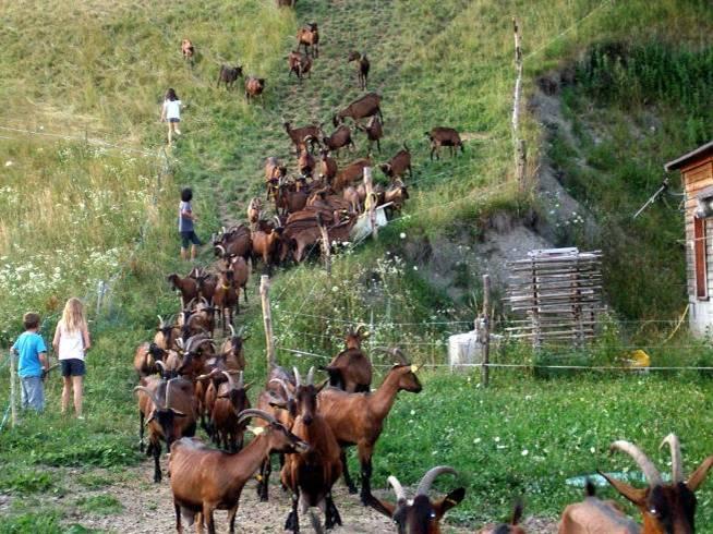 Le retour à la chèvrerie des Trolles, la Motte (cliché Bernard Théry, juillet 2013)