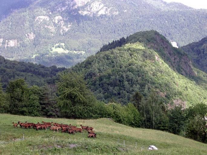 Le retour à la chèvrerie des Trolles, la Motte ; au fond, les Gures (cliché Bernard Théry, juillet 2011)
