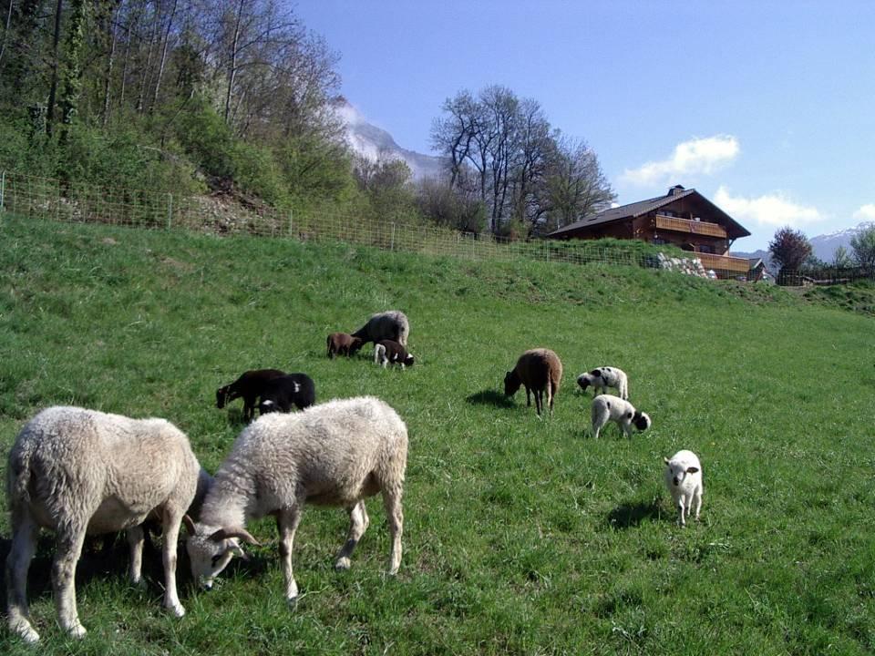 Moutons à Maffrey, avant la montée en alpage (cliché Bernard Théry, avril 2011)