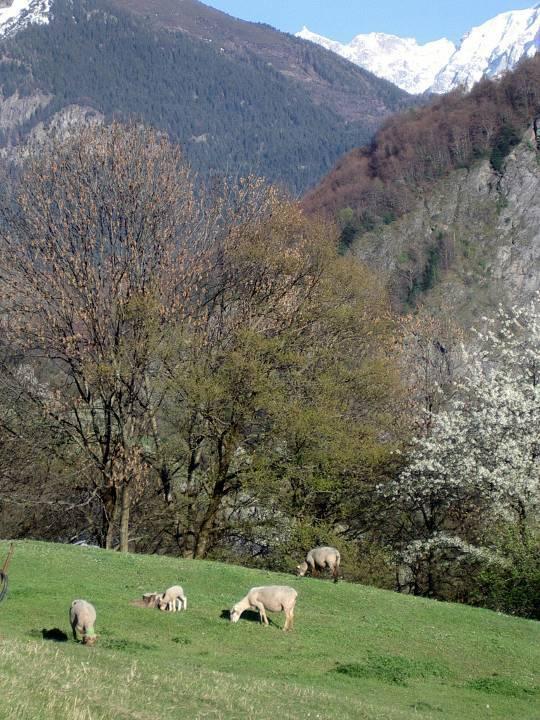 Moutons aux Soudans en avril avant la montée aux alpages (cliché Bernard Théry, avril 2011)