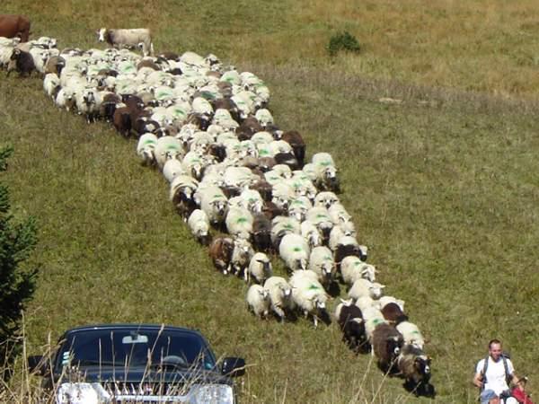 Moutons en alpage (cliché Gérard Barday)