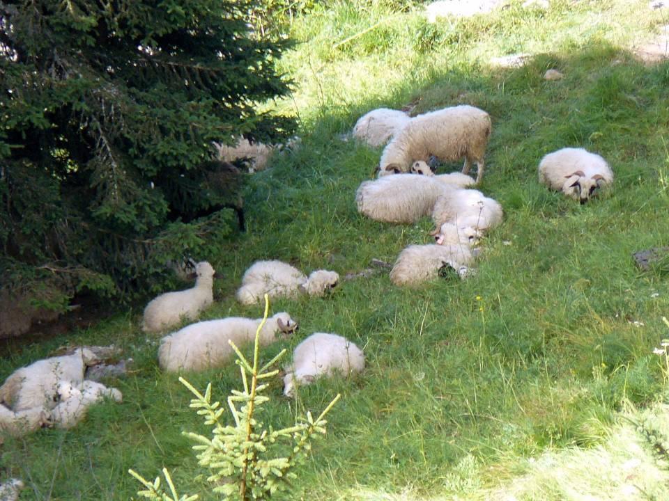 Moutons en alpage au chalet de Varan (cliché Bernard Théry, été 2008)