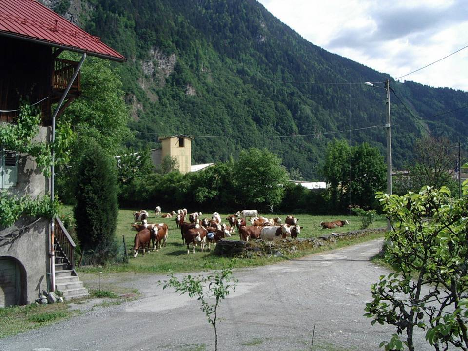 Les vaches d'Abondance de la ferme de la Frasse, à Chedde, en mai 2011 (cliché Bernard Théry)