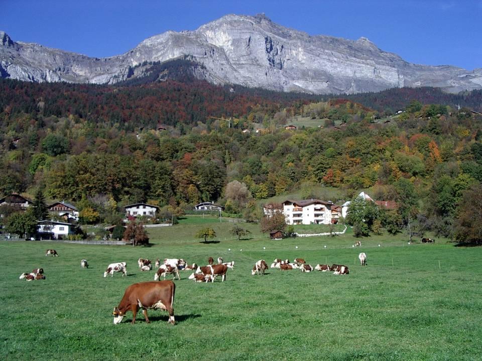 Les vaches d'Abondance de la ferme de la Frasse, à Chedde, en octobre 2013 (cliché Bernard Théry)
