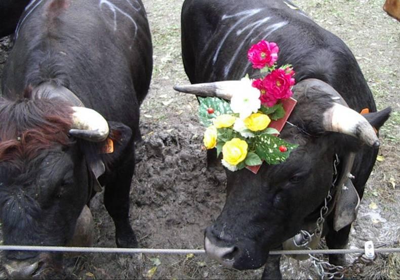 Vaches de la race Hérens : une championne et son trophée, Servoz, 26 septembre 2010 (cliché Bernard Théry)