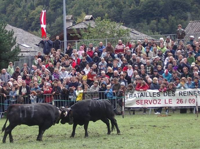 Vaches de la race Hérens, en lutte pour le combat des reines à Servoz, 26 septembre 2010 (cliché Bernard Théry)