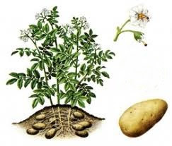La pomme de terre, ou patate, est un tubercule comestible produit par l'espèce Solanum tuberosum, appartenant à la famille des solanacées.