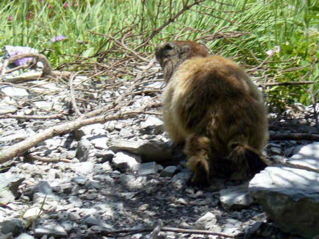 Marmotte rencontrée sur le chemin qui monte au désert de Platé (cliché Stéphane Théry, juillet 2012)