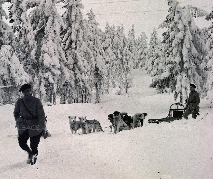 Des chiens d'Alaska dans le secteur du Bonhomme pendant la grande guerre, coll. E. Mansuy ; (Voir site l'Alsace.fr)