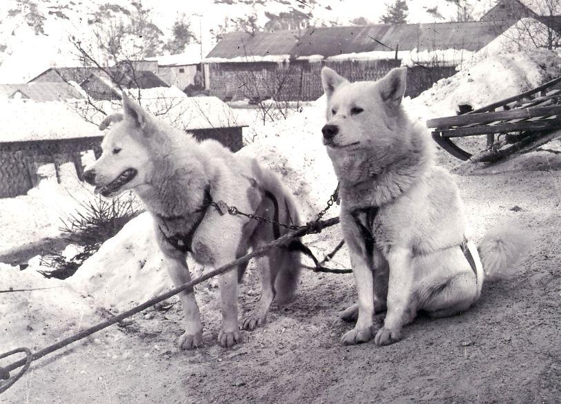 Janvier 1917 deux chiens d'Alaska de la 2ème SECA – Crédits Pascal DURAND (site legrandshivarit)